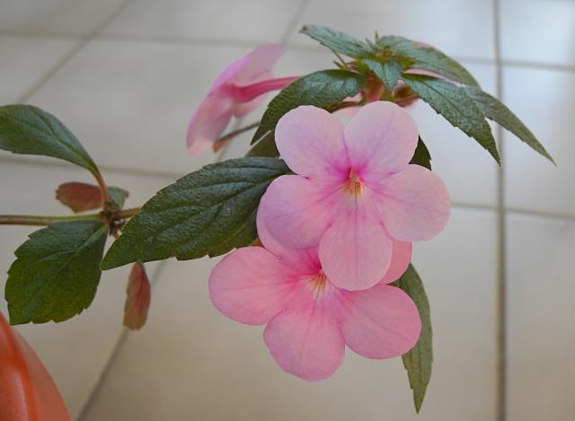 Pacific Bulb Society Achimenes Pink Cloud