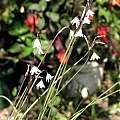 Acis autumnalis var. oporantha, Lee Poulsen