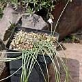 Acis longifolia, Hans Joschko