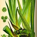 Acorus calamus L. [Shift+click to enlarge, Click to go to wiki entry]