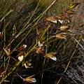 Acrolophia capensis, Jan and Anne Lise Schutte-Vlok