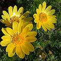 Adonis vernalis, John Lonsdale [Shift+click to enlarge, Click to go to wiki entry]
