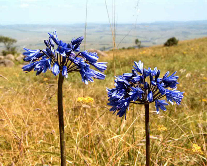 Pacific Bulb Society Agapanthus Species