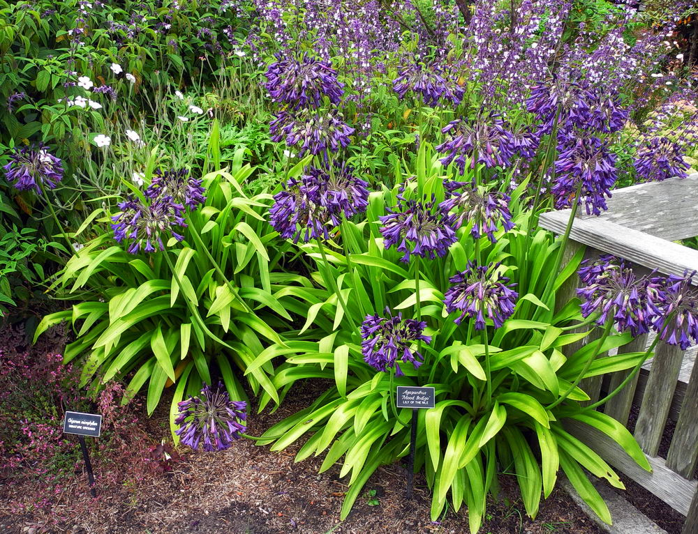 Picture of Live Lily-of-the-Nile (purple aka Agapanthus 'Mood Indigo' Plant Fit 1 Gallon Pot