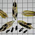 Agapanthus sp. seed, David Pilling