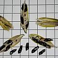 Agapanthus sp. seed, David Pilling