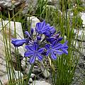 Agapanthus africanus close, Cameron McMaster [Shift+click to enlarge, Click to go to wiki entry]