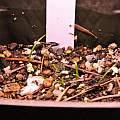 Agapanthus seedlings, Travis Owen
