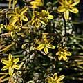 Albuca albucoides, Spring Valley, Nhu Nguyen