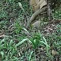 Albuca bracteata, Drakensberg, Mary Sue Ittner