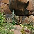 Albuca canadensis, Mary Sue Ittner
