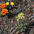Albuca concordiana, Calvinia, Mary Sue Ittner