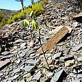 Albuca cooperi, Nieuwoudtville, Cameron McMaster [Shift+click to enlarge, Click to go to wiki entry]