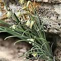 Albuca massonii, Oorlogskloof Nature Reserve, Andrew Harvie