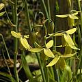Albuca namaquensis, Mary Sue Ittner