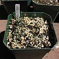 Albuca spiralis seedlings, Nhu Nguyen