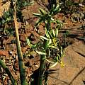 Albuca suaveolens, Calvinia, Mary Sue Ittner [Shift+click to enlarge, Click to go to wiki entry]