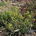 Albuca tortuosa, UC Botanical Garden, Nhu Nguyen
