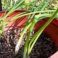 Albuca virens leaves, Mary Sue Ittner