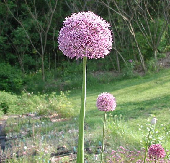pacific bulb society  big ball alliums, Beautiful flower