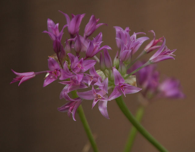 Pacific Bulb Society Favorite Pink Flowered Bulbs