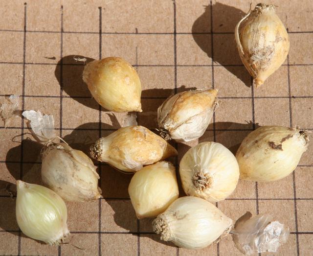 луковицы лука декоративного картинки лучики
