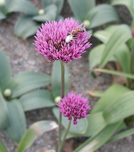 Semis d'Allium Allium_winklerianum_spider