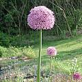 Allium 'Gladiator', Mark McDonough
