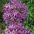 Allium 'Globemaster', Mark McDonough