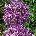 Allium 'Globemaster', Mark McDonough [Shift+click to enlarge, Click to go to wiki entry]