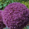 Allium 'Lucy Ball', Mark McDonough