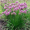 Allium 'Millenium', Mark McDonough