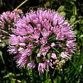 Allium 'Millenium' closeup, Jay Yourch