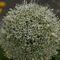 Allium 'Mount Everest', David Pilling