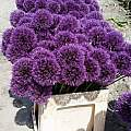 Allium 'Powder Puff', Wietse Mellema [Shift+click to enlarge, Click to go to wiki entry]