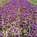 Allium 'Powder Puff', Wietse Mellema
