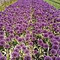 Allium 'Powder Puff', Wietse Mellema