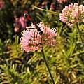Allium 'Sugar Melt' with a large solitary wasp, Travis Owen
