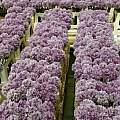 Allium acutiflorum, Wietse Mellema