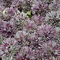 Allium acutiflorum, Wietse Mellema [Shift+click to enlarge, Click to go to wiki entry]