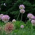 Allium hymenorrhizum, Mark McDonough