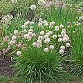 Allium albidum hybrid, Mark McDonough