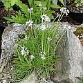 Allium albidum ssp. caucasicum, Mark McDonough