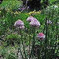 Allium altyncolicum 'Blue Spear', Mark McDonough [Shift+click to enlarge, Click to go to wiki entry]