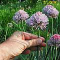 Allium altyncolicum 'Blue Spear', Mark McDonough