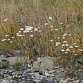 Allium amplectens, in habitat, Nhu Nguyen