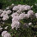 Allium amplectens, Tilden Botanic Garden, Nhu Nguyen