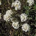 Allium amplectens, Bear Valley, Mary Sue Ittner