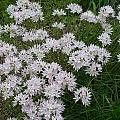 Allium amplectens, Mark McDonough