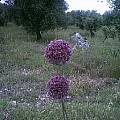 Allium atroviolaceum, Angelo Porcelli [Shift+click to enlarge, Click to go to wiki entry]